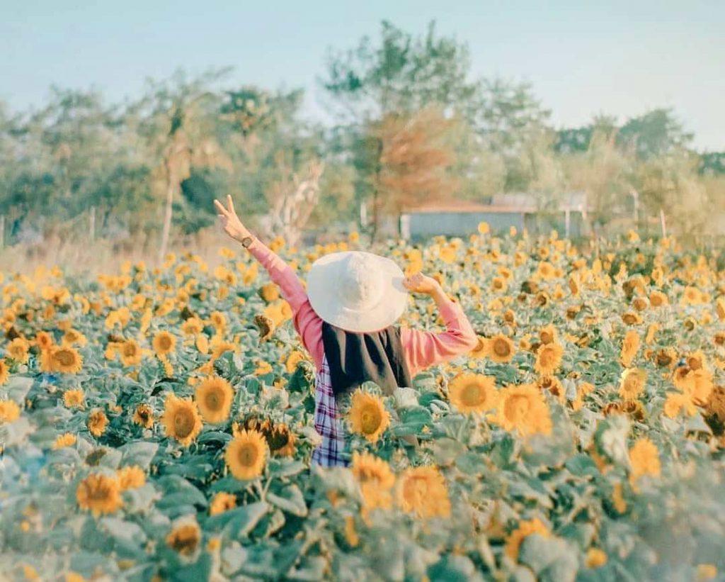 Bunga Matahari Bantul Yogyakarta